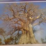 شجرة تبلدي